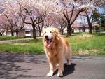 桜。綺麗でチュ壁紙.JPG